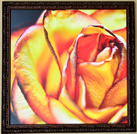 a rose is still a rose (lt) on canvas 26x26